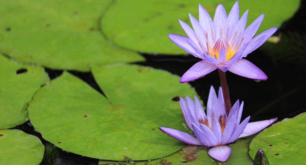 purple-lotus